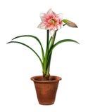 Bloeiende amaryllis royalty-vrije stock afbeeldingen