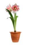 Bloeiende amaryllis royalty-vrije stock fotografie