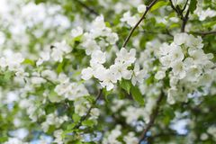 Bloeiende appel in de lente stock afbeelding