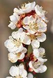 Bloeiende appelbloesems Stock Foto