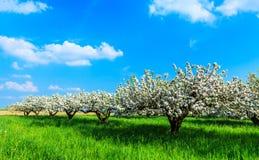 Bloeiende appelbomen Stock Afbeeldingen