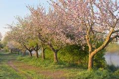 Bloeiende appelbomen Stock Fotografie