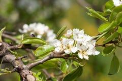 Bloeiende appelbomen 1 Stock Foto's