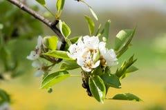 Bloeiende appelbomen 3 Royalty-vrije Stock Afbeelding