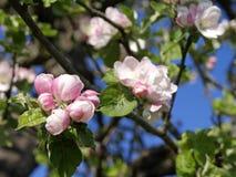Bloeiende appelbomen in de lente Stock Afbeelding
