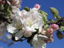 Bloeiende appelbomen in de lente Royalty-vrije Stock Foto's
