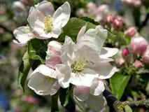 Bloeiende appelbomen in de lente Stock Foto