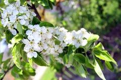 Bloeiende appelbomen in een de lentetuin Stock Foto's