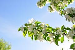 Bloeiende appelboom   Stock Afbeelding