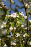 Bloeiende appelboom Royalty-vrije Stock Afbeeldingen