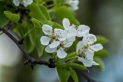 Bloeiende appelboom Stock Foto's