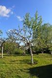 Bloeiende appelboom in de lente Stock Foto