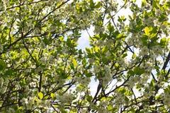 Bloeiende appelboom in de tuin Royalty-vrije Stock Afbeeldingen