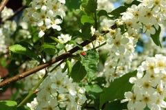 Bloeiende appelboom in de vroege lente Royalty-vrije Stock Afbeeldingen