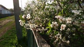 Bloeiende appelboom met witte bloemen bij regen in de lente stock videobeelden