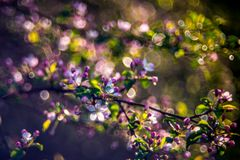 Bloeiende appelboom na regen royalty-vrije stock afbeeldingen