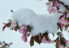 Bloeiende appelboom onder de sneeuw Royalty-vrije Stock Afbeeldingen