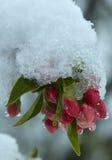Bloeiende appelboom onder de sneeuw Royalty-vrije Stock Foto's