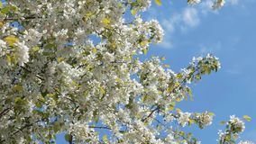 Bloeiende appelboom op de blauwe hemel stock footage