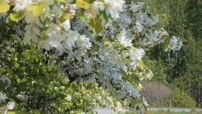Bloeiende appelboom op de blauwe hemel stock videobeelden