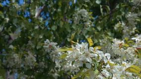 Bloeiende appelboom op de blauwe hemel stock video