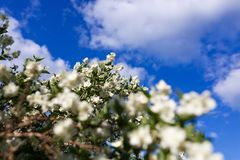 Bloeiende appelboom op een achtergrond van blauwe hemel stock foto's