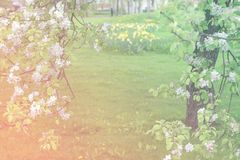 Bloeiende appelboom op groene vage achtergrond Stock Fotografie