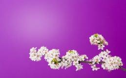 Bloeiende appelboom op purple Stock Fotografie