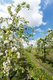 Bloeiende appelboomgaard in de lente 3 Royalty-vrije Stock Foto's