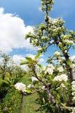 Bloeiende appelboomgaard in de lente 4 Stock Foto