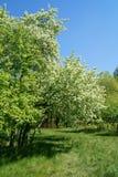 Bloeiende appelen in de lente Stock Fotografie