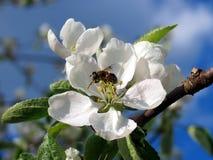 Bloeiende appelen in de tuin royalty-vrije stock fotografie