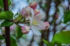 Bloeiende appelknop Royalty-vrije Stock Afbeelding