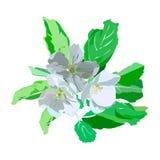 Bloeiende appeltak met witte bloemen Stock Afbeeldingen