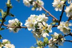 Bloeiende Apple-boom in wit Royalty-vrije Stock Fotografie
