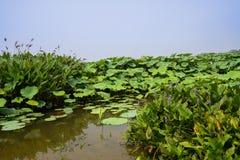 Bloeiende aquatische installaties door lotusbloemvijver in de zonnige zomer Royalty-vrije Stock Foto