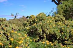 Bloeiende Asteriscus-sericeus natuurlijke bloemenachtergrond stock afbeelding