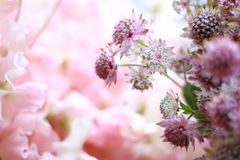 Bloeiende Astrantia-bloem Royalty-vrije Stock Fotografie
