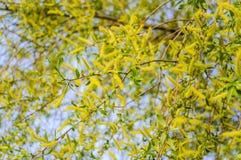 Bloeiende barst, of brosse wilg Salix fragilis Bullata stock fotografie