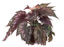 Bloeiende begonia in pot Stock Fotografie