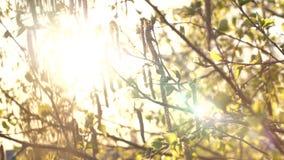 Bloeiende berkknoppen, bladeren en takken in de lentezonlicht stock videobeelden