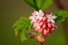 Bloeiende Bes, botanische tuin, Lodz, Stock Fotografie