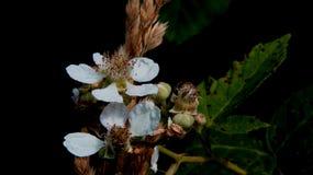 Bloeiende Bessenbloemen met Zwarte achtergrond Stock Fotografie