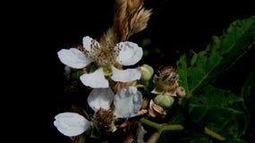 Bloeiende Bessenbloemen met Zwarte achtergrond Stock Afbeelding