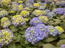 Bloeiende blauwe hydrangea hortensia's royalty-vrije stock foto's