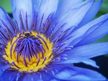 Bloeiende blauwe lotusbloembloem Stock Foto's
