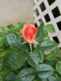 Bloeiende bloem stock afbeelding