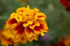 Bloeiende bloem Stock Fotografie