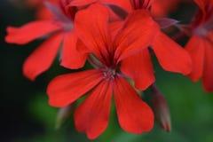 Bloeiende bloem in de tuin Royalty-vrije Stock Foto's