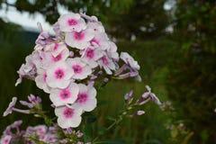 Bloeiende bloem in de tuin Stock Afbeeldingen
